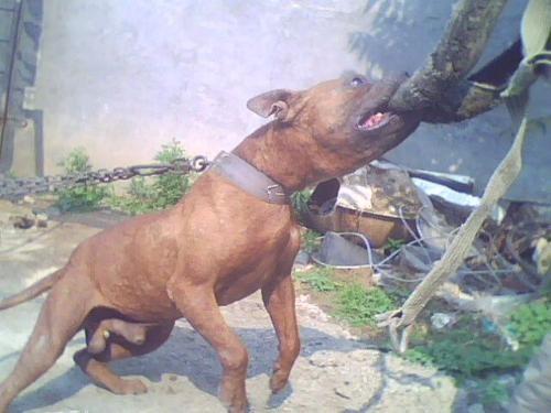极品比特猛犬 比特多大 比特多少钱