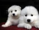 重庆本地上门低价出售 纯种萨摩耶犬 当面检查 包健康送用品
