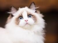 出售篮双布偶海豹双色重点色布偶幼猫小仙女幼猫(包纯种包健康)