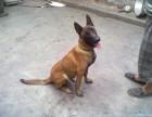出售纯种马犬 精心繁育品质优良 签署合同质保