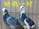 信鸽 赛鸽 成绩鸽 血统赛鸽 公棚信鸽出售
