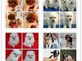 纯度第一 品质第一 价位低 各国名犬出售 健康质保
