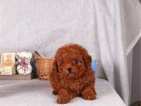 重庆哪里有泰迪卖,重庆泰迪多少钱,重庆泰迪照片