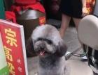 卖小狗。高品质3.1斤灰泰迪正方形身高21
