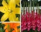 四季花卉希旺香水百合唐菖莆郁金香花卉种球供应全国