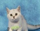 出售英短蓝白宠物猫纯种 英国短毛猫英短立耳 折耳