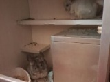 三只龙猫转让,银斑标灰粉白
