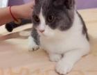 出售英短蓝白猫一只
