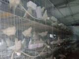 鸽子出售价格实惠
