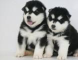 深圳狗狗之家长期出售高品质 阿拉斯加 售后无忧