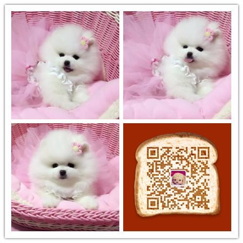纯种博美犬价格 杭州哪里卖博美犬 多少钱