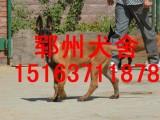 荆州马犬多少钱一只哪里有卖马犬的