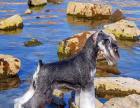 黑银雪纳瑞幼犬对外出售