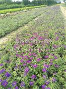求购细叶美女樱小苗-优质的细叶美女樱金通花卉苗木供应