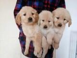南宁出售 纯种金毛幼犬 疫苗齐全出售中 可签协议健康保障