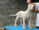出售血统杜高犬卡斯罗犬罗威纳犬杜宾犬马犬德国牧羊犬等猛犬