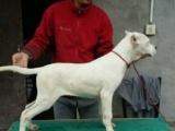 柳州哪里有卖比特杜高犬的