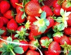 上海长兴岛郊区草莓采摘,桔园农庄草莓采摘户外游