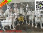 世界猛犬杜高 纯种杜高哪里有出售 纯种杜高多少钱