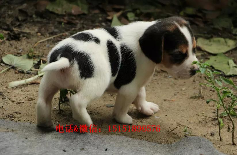 温州哪里卖纯种比格犬 温州比格猎犬多少钱 温州猎犬价格是多少