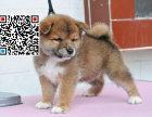 哪里出售柴犬 纯种柴犬多少钱