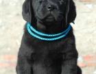 广州哪里有拉布拉多导盲犬出售 拉布拉多好养吗 听话吗多少钱