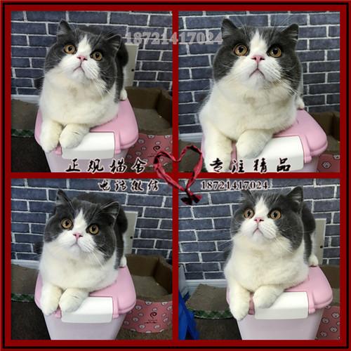 蓝猫 精品超萌小蓝猫低价出售保纯保健康