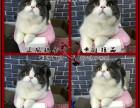 高端精品蓝猫CFA高品质种猫繁殖可可空运