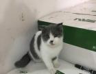 几只英短猫猫6 个月。三花。高白 蓝白