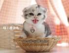 天津买猫 出售苏折英短折蓝猫折耳 纯种健康 疫苗证书齐全