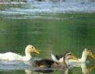 咸鸭蛋微山湖的绝味美食