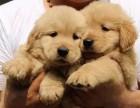 純種金毛幼犬 毛色華麗一氣質高雅一常年銷售有