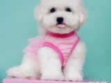 买宠物狗黑鼻头纽扣眼棉花糖比熊幼犬 纯种健康签协议