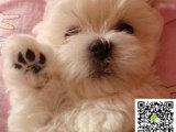 马尔济斯犬幼犬多少钱一只 马尔济斯犬幼犬多少钱一只啊