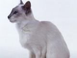 长期出售刚出生的长毛的暹罗猫