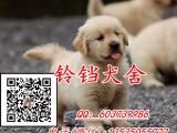实体狗场 专业繁殖出售金毛犬 疫苗做好 包纯种健康可送货上门