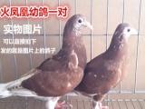 信鸽 种鸽 血统鸽成绩鸽转让