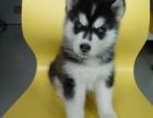 出售哈士奇雪橇犬,狗狗公母都有,纯种繁殖健康品质保证