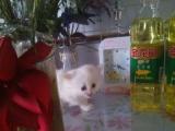 家养的猫 生了3只小白猫 出卖