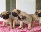 全国连锁双血统八哥犬繁殖基地 本地可上门