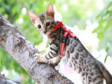 上海黃浦純血孟加拉豹貓價錢