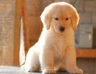 自家大狗生的一窝金毛犬可以来家里看大狗品相