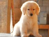 狗市可以买到纯种金毛犬吗 多少钱一只