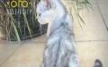 美国短毛猫,美短虎斑弟弟,苏格兰折耳猫