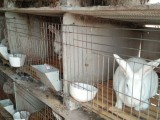 通辽种兔繁殖基地 獭兔技术学习野兔养殖成本 包检疫包回收
