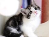 四川自贡美短加白猫优惠出售