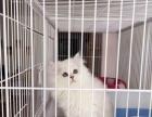 出售纯种金吉拉小猫崽公母均有可选欢迎看猫和联系