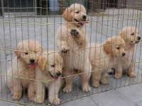 金毛纯种幼犬出售巡回猎犬-导盲犬黄金宠物狗狗赛级