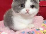 出售美国短毛猫英国短毛猫布偶等