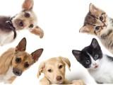 十堰柴犬包纯种 保健康 签协议出售 全国可飞可上门